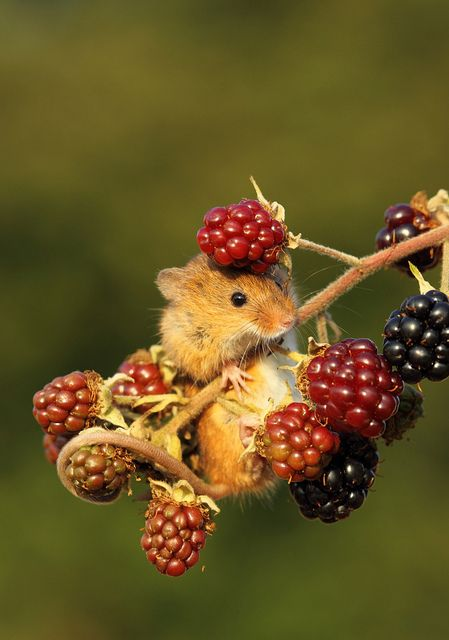 38 Cute And Tiny Wild Mice Photos Designbump