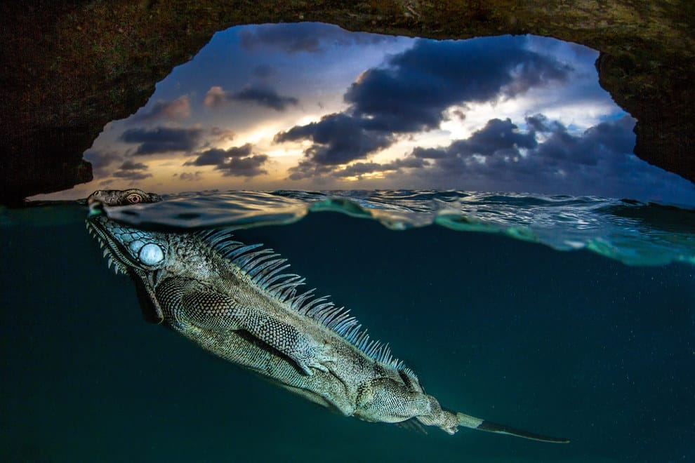 A green iguana surfaces for air in a cave on the island of Bonaire.