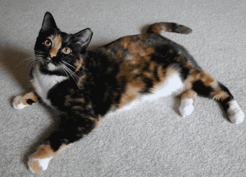Carey And Calico Cats Or Tricolor