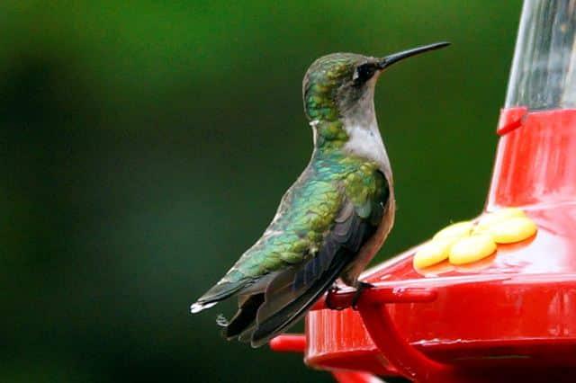 Bird11 Carolina Bird